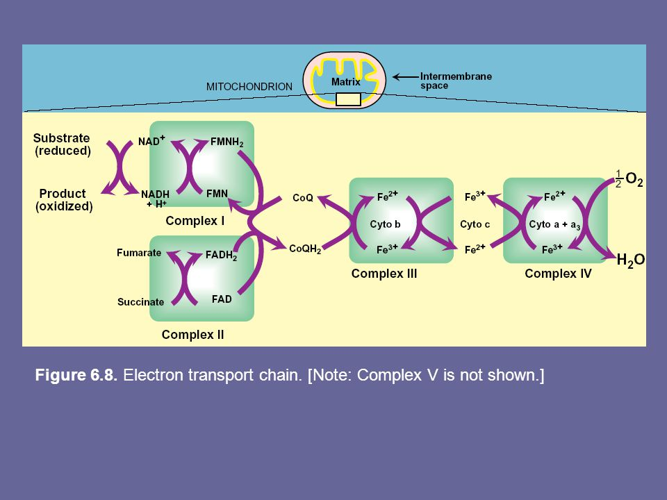 Figure 6.8. Electron transport chain. [Note: Complex V is not shown.]